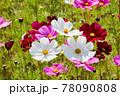 風景素材 鮮やかなコスモスの花 78090808