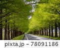 風景素材 新緑のメタセコイア並木 78091186
