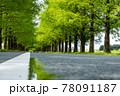 風景素材 新緑のメタセコイア並木 78091187