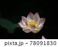 風景素材 鮮やかな蓮の花 78091830