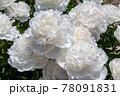 風景素材 鮮やかに咲き誇る白い芍薬の花 78091831