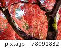 風景素材 鮮やかな日本の紅葉 78091832