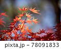風景素材 鮮やかな日本の紅葉 78091833