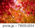 風景素材 鮮やかな日本の紅葉 78091834