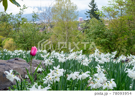 バンクーバーのQueenElizabeth公園にあるチューリップと白いクロッカス 78093954