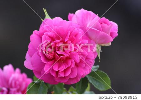 《平塚市・花菜ガーデン》春に満開したバラ 78098915