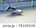 日光浴をする亀 78100549