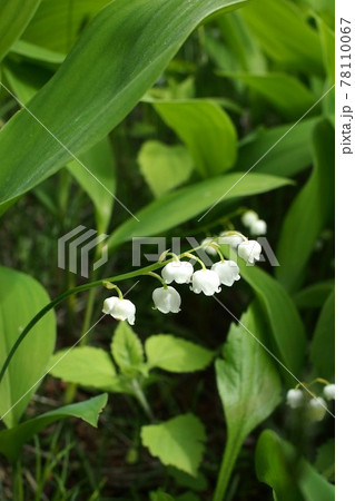 石崎自主海神社に咲くドイツスズラン 78110067