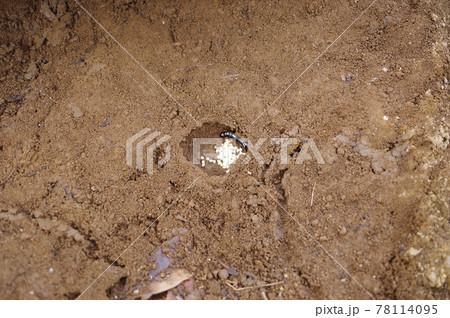 ハサミムシの成虫と卵 撮影場所(神奈川県大和市) 78114095