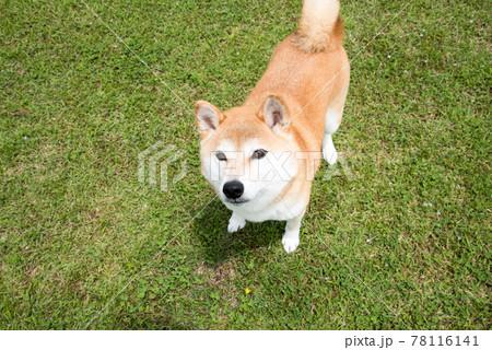 赤毛の柴犬 78116141