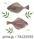 ヒラメとカレイの手描きイラスト/水彩タッチ 78120593