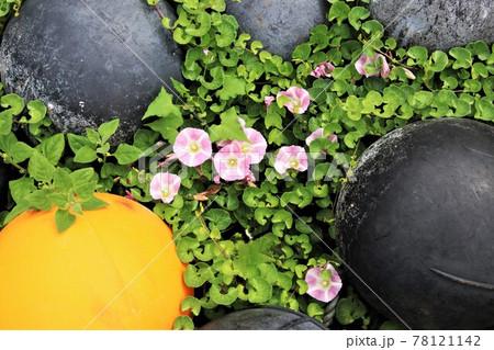 ブイの間に咲いているハマヒルガオの花たち 78121142