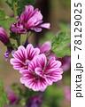 ゼニアオイの花 78129025