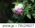 源平シモツケ 78129027