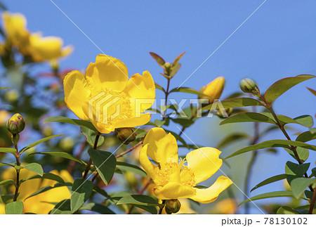 キンシバイ 金糸梅 黄色い花 夏の花 夏イメージ 78130102