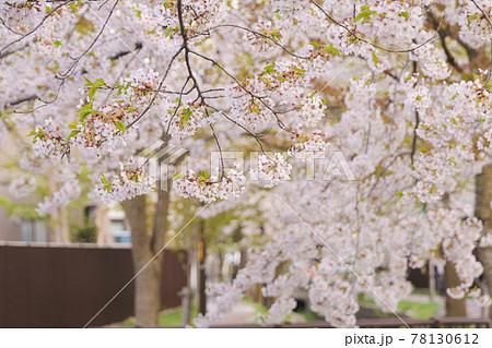 河川敷で咲く満開の桜 北海道札幌市 78130612