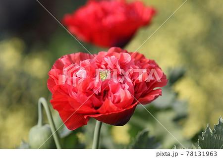 大輪の真っ赤な、ケシの花 78131963