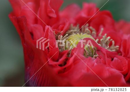 大輪の真っ赤な、ケシの花 78132025