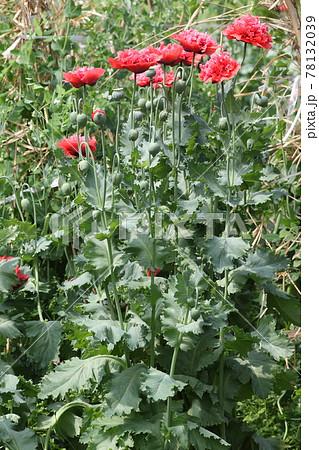 大輪の真っ赤な、ケシの花 78132039