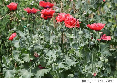 大輪の真っ赤な、ケシの花 78132041