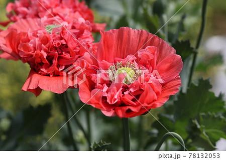 大輪の真っ赤な、ケシの花 78132053