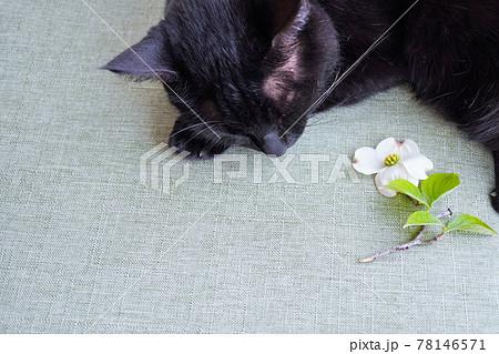 緑の和風の布とハナミズキの花と寝ている黒猫 78146571