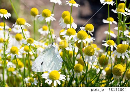 春の市民農園に咲く満開のカモミールに止まるモンシロチョウ 78151004