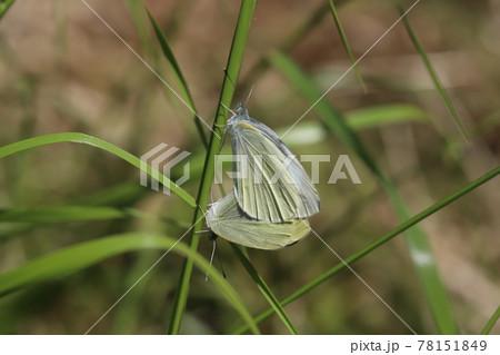 春の野原で草の葉に止まって交尾するモンシロチョウのオスとメス 78151849