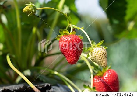 いちごの栽培 赤い実をつけた苺 (5月) 家庭菜園 78154825