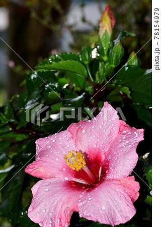 縦方向に写したピンクのハイビスカスの花と蕾 78154979