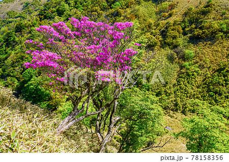 (静岡県)達磨山高原・山間に咲くミツバツツジ 78158356