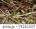 日本最大のトカゲ キシノウエトカゲ 天然記念物 西表島 世界自然遺産 固有種 78161437