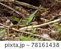 日本最大のトカゲ キシノウエトカゲ 天然記念物 西表島 世界自然遺産 固有種 78161438