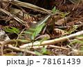日本最大のトカゲ キシノウエトカゲ 天然記念物 西表島 世界自然遺産 固有種 78161439