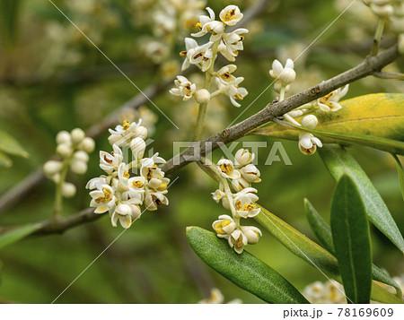 オリーブの花 78169609