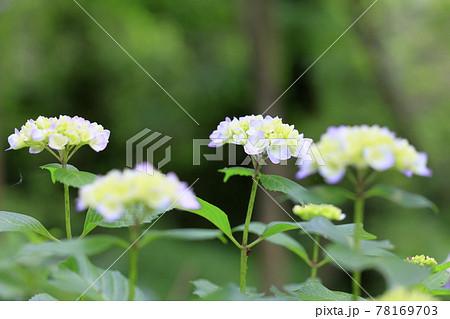 馬見丘陵公園 紫陽花園 78169703