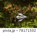 池の岩の上にいるミシシッピアカミミガメ 78171502