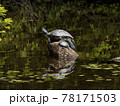 池の岩の上にいるミシシッピアカミミガメ 78171503