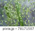 ヒメコバンソウの花 78171507