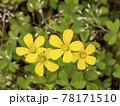 カタバミの黄色い花 78171510