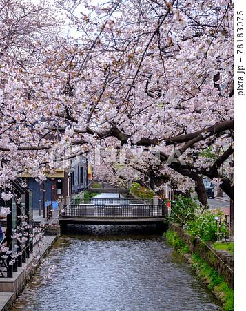 京都・桜満開の木屋町・高瀬川 78183076