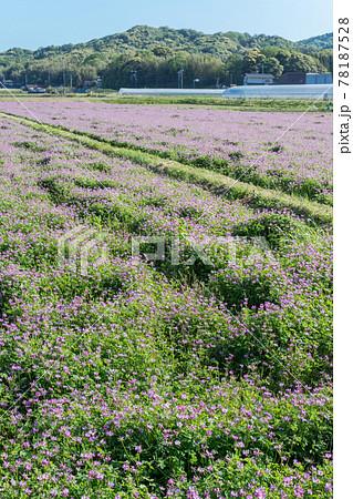 レンゲ咲く田んぼ 蜂蜜採取と堆肥になるれんげ栽培 78187528