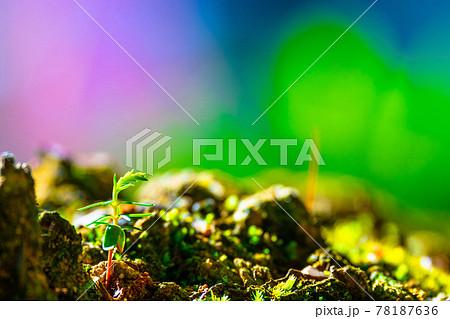 檜の芽生え 78187636