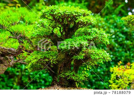 盆栽 78188079