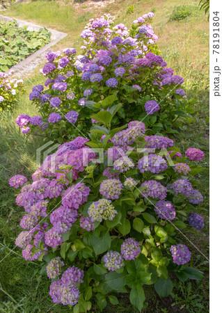 星名池公園の紫陽花 78191804