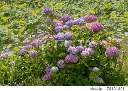 蓮の池の畔に咲く紫陽花 78191808