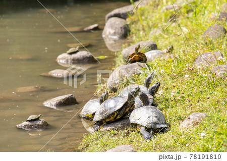 水辺に集まって甲羅干しをする亀 78191810