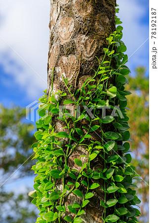 奄美大島_熱帯の木に巻きつく寄生植物 78192187