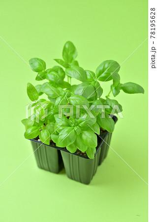 園芸で人気のハーブ、バジル。植物、葉、料理用のバジル。 78195628