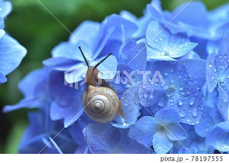 紫陽花とカタツムリ 78197555
